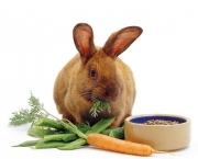 Brown female rabbit eating carrot tops, with pellet food in a bowl