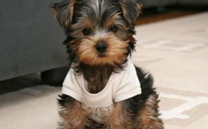 Miniature Dogs That Dont Shed