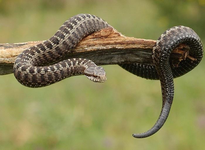 mordedura de víbora cobra e veneno animais cultura mix