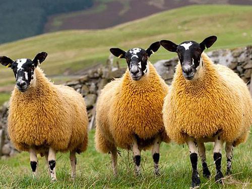 ovelhas ra231as criadores e l227 animais cultura mix