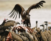 ca. 1970-1990, Hwange National Park, Zimbabwe --- Whitebacked vultures feeding on a carcass previously killed by a lion. --- Image by © Peter Johnson/CORBIS