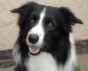 Adestramento Border Collie (2)