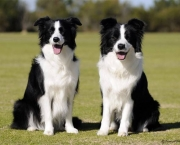 Adestramento Border Collie (4)