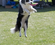 Adestramento Border Collie (5)