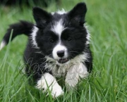 Adestramento Border Collie (6)