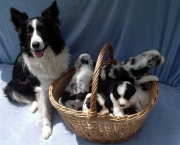 Adestramento Border Collie (7)