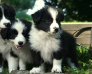 Adestramento Border Collie (8)