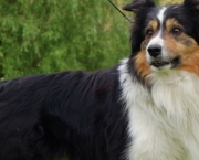 Adestramento Border Collie (10)