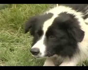Adestramento Border Collie (13)