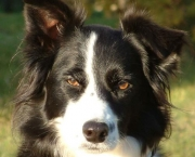 Adestramento Border Collie (17)