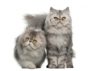 Portrait of Persian cats, 7 months old,, sitting