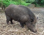 normal_Sus_scrofa