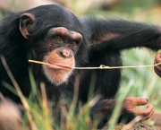 Chimpanze-animais-mais-inteligentes