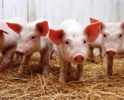 most-intelligent-animals-pig