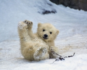 Polar Bear Cubs in Moscow Zoo