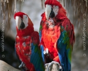 ara_chloroptera_red_and_green_macaw_01