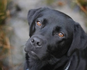 PIC FROM CATERS NEWS - (PICTURED: Ruby the labrador) - Meet the dog that can't go for walks on grass or fill up on dog food... because she's allergic to being a dog. A juicy bone, walkies and even normal dog food are out of the question for Ruby the black Labrador who has allergies to meat, milk, dust mites, some types of grass. Her owner Karen Stanfield, __, has to home cook her three-year-old pet a vegetarian diet and make sure her house is always spotless so as to not upset Ruby's delicate nose. SEE CATERS COPY.