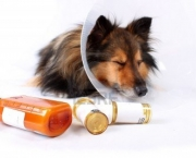 5844834-sick-sheltie-or-shetland-sheepdog-with-dog-cone-collar-and-medicine-bottles-in-the-foreground-not-is