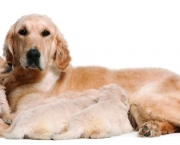Golden Retriever mother, 5 years old, nursing and her puppies, 4