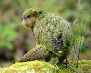 a_kakapo_explores_codfish_island_photo_by_stephen__4e3284ceef