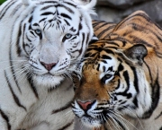 504168__bengal-tiger-love_p