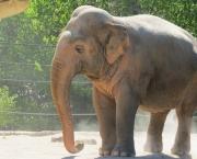 Elefante-asiático