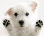 White-Cute-Puppy-