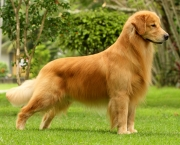 Fotos Golden Retriever (1)