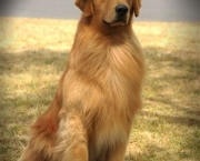 Fotos Golden Retriever (2)
