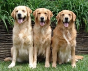 Fotos Golden Retriever (4)