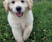 Fotos Golden Retriever (7)