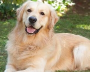 Fotos Golden Retriever (12)