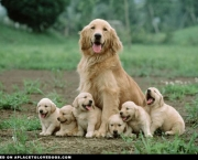 Fotos Golden Retriever (15)