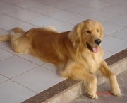 Fotos Golden Retriever (16)