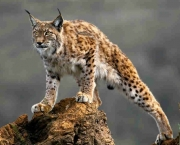 Photo  ©  2012 Barcroft Media/The Grosby Group - Photographer Marina Cano stands in front of a lynx at the Cabarceno wildlife park in Villaescusa, Spain.   BALANCING on its massive paws a spotty lynx stalks across boulders in the rocky Spanish countryside.  With intense orange eyes and distinctive pointy ears the Boreal lynx lives semi-wild in Spain. The population of the big cats is cared for by staff at the Cabarceno Wildlife Park near Santander.   (BAM)