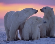 Polar bear with yearling cubs