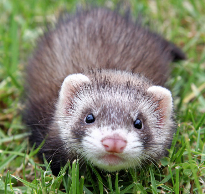 ferret face wallpaper background - photo #15