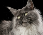Maine-Coon-size-620