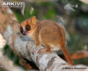 Photo from ARKive of the Madame Berthe's mouse lemur (Microcebus berthae) - http://www.arkive.org/madame-berthes-mouse-lemur/microcebus-berthae/image-G45526.html