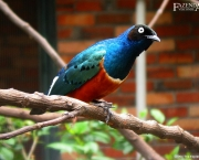 Melro_Soberbo_Superb_Starling_Lamprotornis_Superbus_Passaro_Ornamental_Fazenda_Visconde-10
