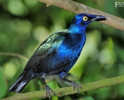 Melro_purpureo_Lamprtornis_purpureus_Purple_Glossy_Starling_Passaro_Ornamental_Fazenda_Visconde-2