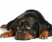rottweiler-adulto-620x413