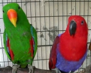 Papagaio Ecletus (12)