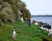 800px-Yellow-eyed_Penguins_Auckland_Islands