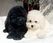 Poodle Toy (2)