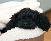 Poodle Toy (3)