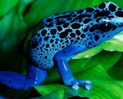 Sapo Azul (1)
