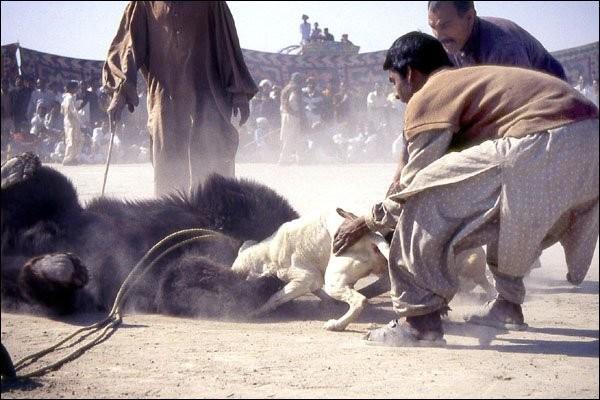Rinhas de cães contra Ursos