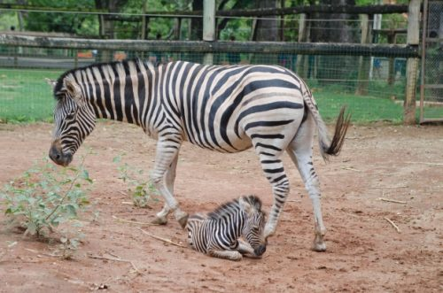 Zebra no Cativeiro